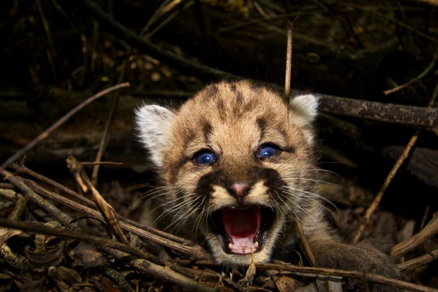 A boom in mountain lion births has occurred this summer all over the Bay Area.