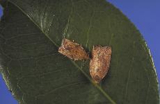 CheckMate, a relatively untested chemical, will attempt to eliminate these moths who threaten California's crops ()