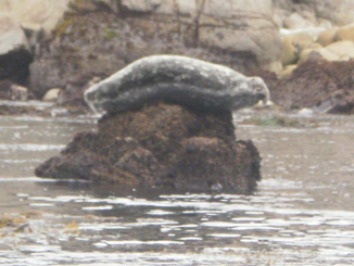 A seal lounges on a rock near the coastline of Lover's Point. (Diane Thao)