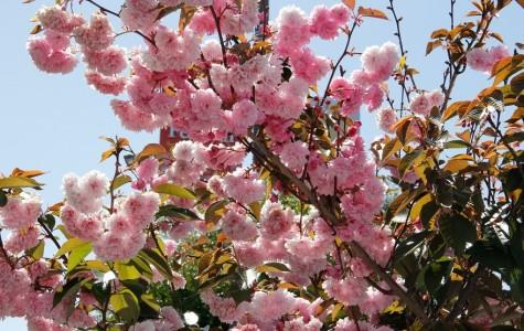 46th Cherry Blossom Festival filled with entertainment and culture