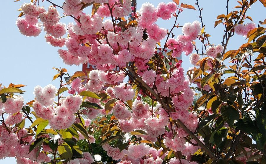 A+picture+of+the+Cherry+Blossom+at+Japan+Town%2C+San+Francisco%2C+April+20%2C+2013.