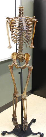 A nearly-complete male skeleton hangs on a stand for display on Nov. 26, 2018.