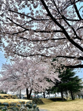 Cherry blossoms (sakura) are in full bloom, but no people are seen at a park in Tokyo, Japan on April 7, 2020, amid an outbreak of the new coronavirus COVID-19.