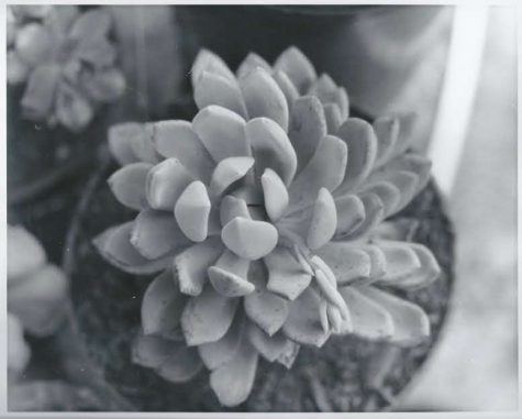 Early morning in the winter the sunlight was shining on my succulent, I wanted to capture the illumination.
